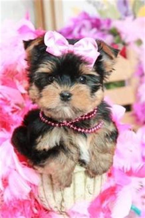 teacup yorkie florida teacup yorkies for sale near me