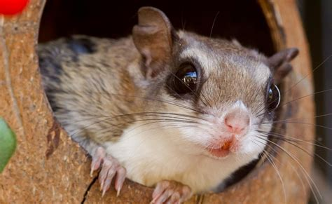 what you need to know as owner of flying squirrel pet