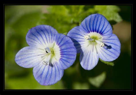 non ti scordar di me fiori non ti scordar di me foto immagini natura macro fiori