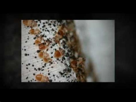 bombs for bed bugs the bed bug fogger truth youtube