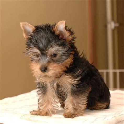 teacup yorkies for adoption in louisiana teacup puppies for adoption www pixshark images galleries with a bite