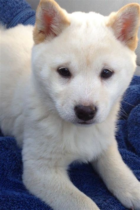 white shiba inu puppies best 25 shiba inu puppies ideas on shiba inu shiba inu doge and shiba puppy