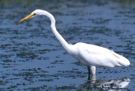 State Birds by Great Egret