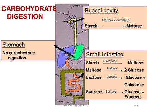 carbohydrates zoology digestion and absorption