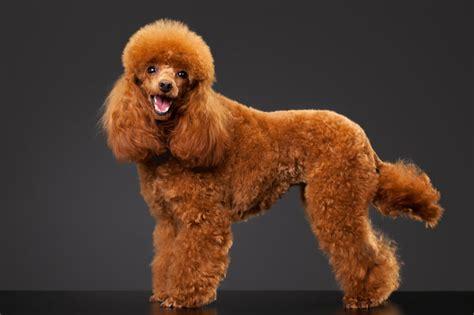 corte pelo caniche caniche 3 tipos de corte de pelo para tu perro