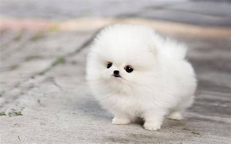 white micro teacup pomeranian puppy teacup pomeranian husky puppies micro white wallpaper х pomeranian