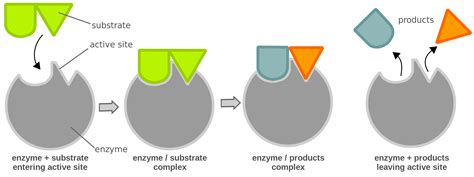 enzyme diagram diagram enzyme substrate complex driverlayer search engine