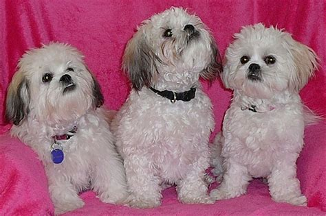 teddy puppies iowa shichons illinois 2015 personal