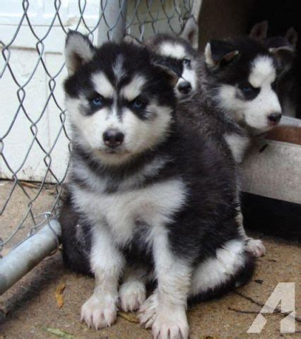 siberian husky puppies for sale in va akc siberian husky puppies males females for sale in chester virginia classified