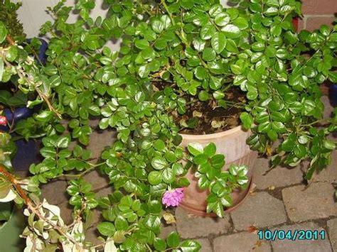 schattenpflanzen zimmer pflanzen f 252 r unbeheizten wintergarten mein sch 246 ner