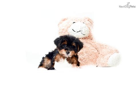 yorkie poo puppies for sale in cleveland ohio teacup yorkie poo puppies for sale in ohio breeds picture