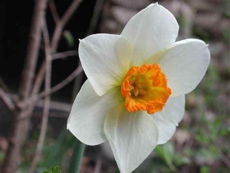 fiori narciso narciso tazetta narcissus narcissus bulbi narciso
