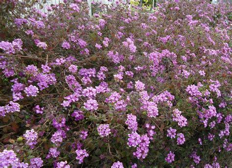 purple flowering bush purple flowering bushes www imgkid the image kid has it