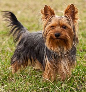 small breeds yorkie meet the breed terrier