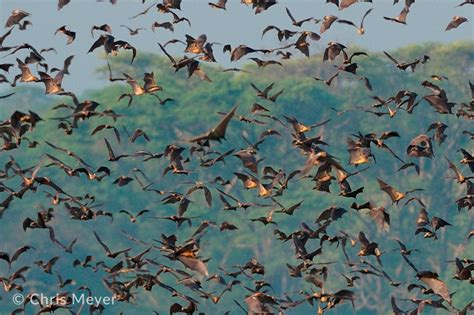 witness the bat migration kasanka national park