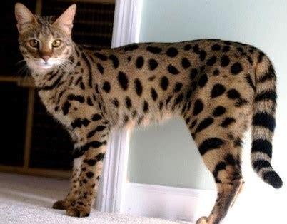 TOP 10 des chats les plus chers du monde   L'Union des