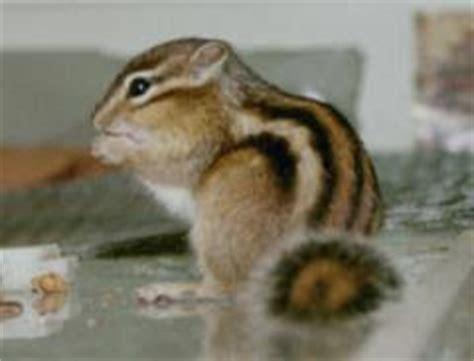 gabbie per scoiattoli giapponesi un po di wolf i miei animali gli scoiattoli giapponesi