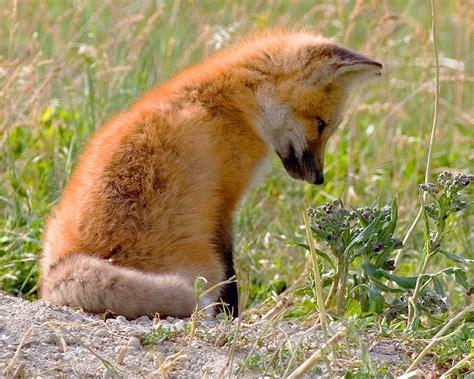 libro the man red fox favorit 28 214 vrigt svensk natur ifokus
