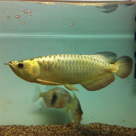 24k gold asian arowana fishes and many others for sale