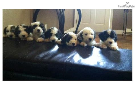 sheepadoodle puppies available now sheepies sheepadoodle puppy for sale near hton roads virginia 73c98413 5e21