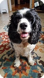 havanese cocker spaniel mix 17 best images about look at this on adoption shetland sheepdog and