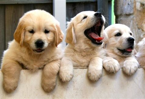 how much does a golden retriever cost golden retriever puppies for sale price where to buy golden puppies