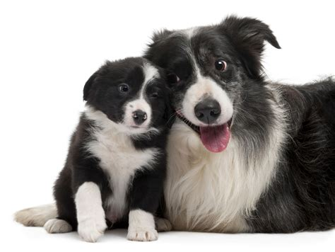 best food for border collie puppy border collie breed information pet365
