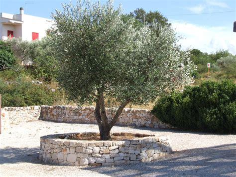 a beautiful olive tree in puglia italy latest member