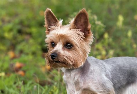 pictures of silky yorkies what is the difference between a yorkie a silky terrier cuteness