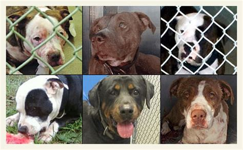 attacks by breed 2016 2015 fatal attack breed identification photographs dogsbite org