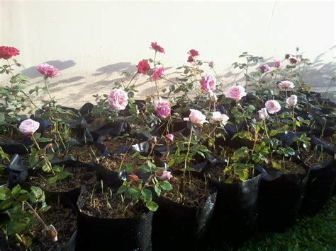 Bibit Mawar Hitam tips menanam dan merawat bunga mawar stek di pot