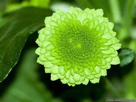 wallpaper green flower green flower wallpaper 1024x768 3421