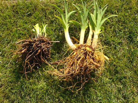 Taglilien Teilen by Taglilien Pflanzung Pflege Vermehrung Versand Sch 228 Dlinge