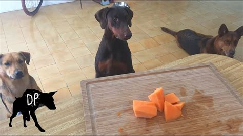 can dogs eat cantaloupe can dogs eat cantaloupe treats