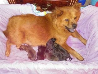 lab chow mix puppies for sale view ad chow chow labrador retriever mix puppy for sale florida