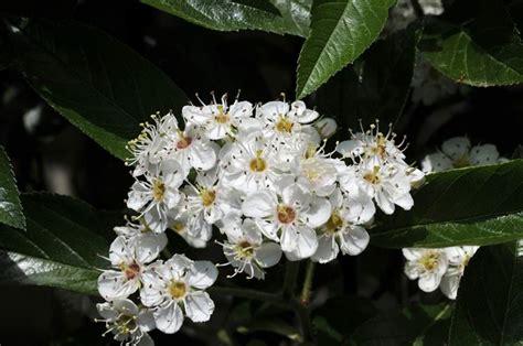 biancospino fiori biancospino crataegus oxyacantha piante da giardino