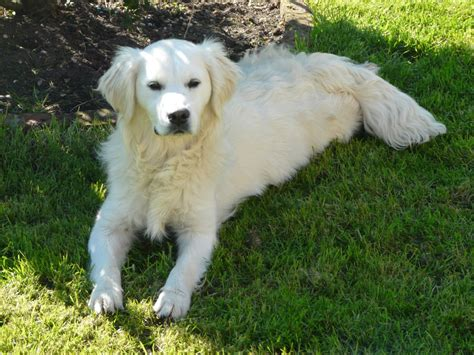pale golden retriever small pale golden retriever woodhall spa lincolnshire pets4homes