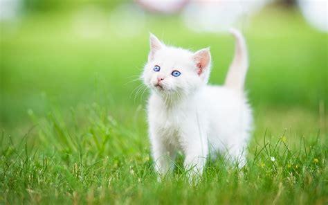 cat picturs kitten grass white hd cat wallpaper