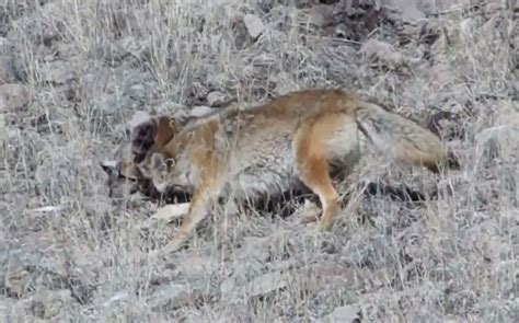 reset nvram mountain lion video coyote locked in death grip with mountain lion