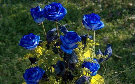 wallpaper flower rose blue blue roses flowers pictures hd wallpaper of flower