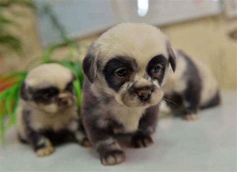 panda puppy 23 puppies mistaken for teddy bears