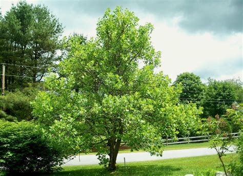 shade tree for small backyard tulip tree best trees to plant 10 options for the
