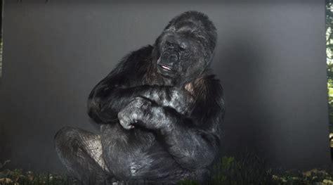 Koko Lis koko gorila istimewa bagi nasihat selamatkan bumi