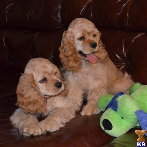 spaniel puppies pa american cocker spaniel puppies for sale in pa