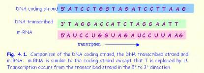 Difference Between Template And Coding Strand by The Codon Aug Codes For Methionine But When It Occurs