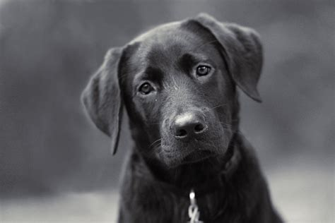 Stop From Shedding So Much by How To Get Black Labrador To Stop Shedding So Much