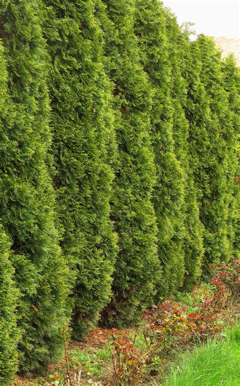 medium sized privacy trees to block nosey neighbors fast growing trees com