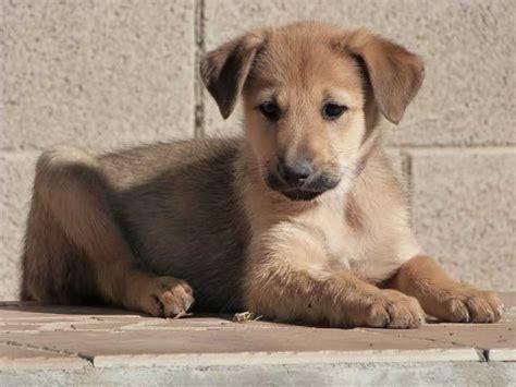 chinook puppy chinook puppies sun god litter week 8