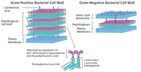 inhibition  cell wall biosynthesis  antibiotics