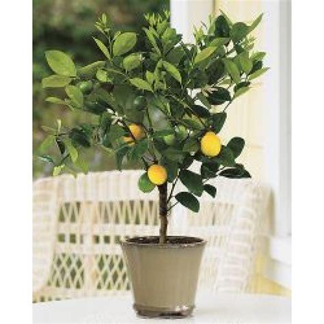 meyer lemon tree meyer lemon tree 3 4 year lemoncitrustree